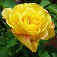 Роза плетистая Goldstern фото
