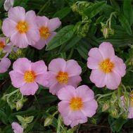 Гелиантемум Lawrenson's Pink фото