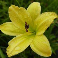 Лилейник Green Flutter фото