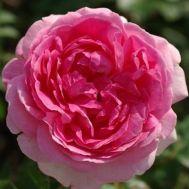 Роза Hermitage фото