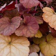 Гейхера Orange Blush фото