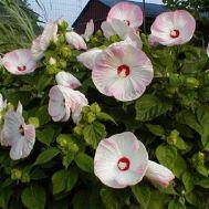 Гибискус садовый Disco Belle Pink фото