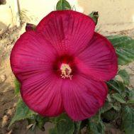 Гибискус садовый Disco Belle Rosy Red фото