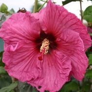 Гибискус садовый Plum Crazy фото