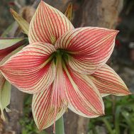 Амариллис Exotic Star фото