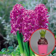 Гиацинт Purple Sensation (горшок 7 см) фото