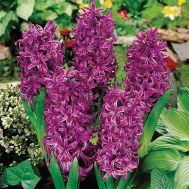 Гиацинт Purple Sensation фото