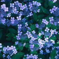 Гортензия Bluebird фото