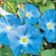 Ипомея Небесно-синя фото