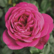 Роза Johann Wolfgang von Goethe  фото
