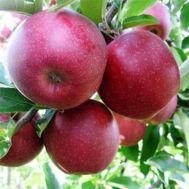 Яблоня Джонапринц фото