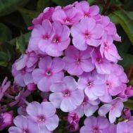 Флокс Lilac Time фото