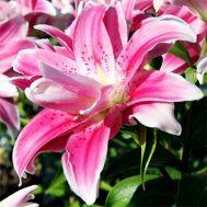 Лилия Sweet Rosy фото