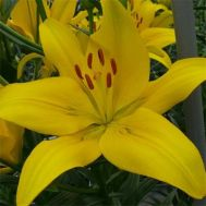 Лилия Yellow County фото
