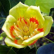Тюльпановое дерево фото