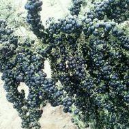 Черные Ягоды Годжи (самоопыляемые) фото