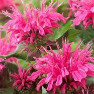 Монарда Pink Lace фото