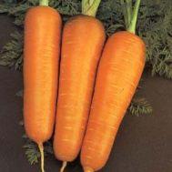 Морковь Шантанэ Сквирская фото