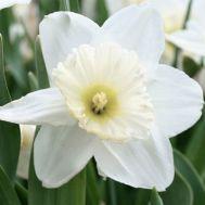 Нарцисс Mount hood фото