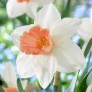 Нарцисс Accent фото