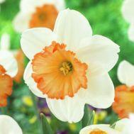 Нарцисс Over Easy фото