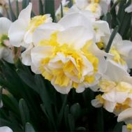 Нарцисс Westward (горшок 7 см) фото