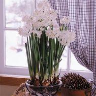 Нарцисс таццета Ziva фото