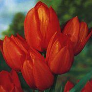 Тюльпан Orange Toronto фото
