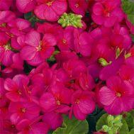 Пеларгония Multibloom Violet фото