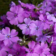 Флокс Early Spring Purple фото