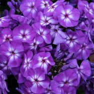 Флокс Purple Kiss фото
