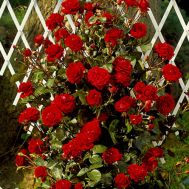 Роза Naheglut  фото