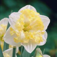 Нарцисс Printal фото