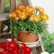 Ранункулюс Tomer Orange фото
