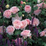 Роза Eglantyne фото