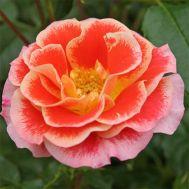 Роза Airbrush фото