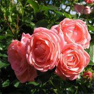 Роза Cosmos фото