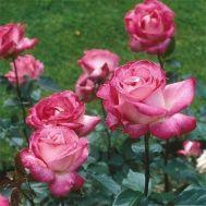 Роза Rose Gaujard фото