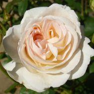 Роза Lions Rose фото