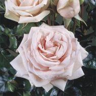 Роза Majestic фото