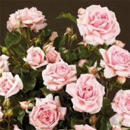 Роза Mama Mia фото