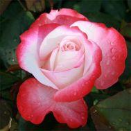 Роза Nostalgie фото