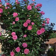 Роза Parfum Royal Climbing фото