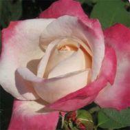 Роза Parfum Tropical фото