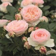 Роза Pastella фото