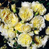 Роза Perpetually yours фото