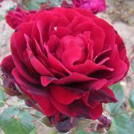 Роза Red Abundance фото