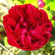 Роза Red Eden Rose фото