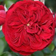 Роза Rotkapchen фото
