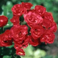 Роза Scarlet Meillandecor фото